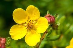 ` Arbustiva di fioritura di Goldfinger del ` di fruticosa di Dasiphora del cinquefoil della cultivar Immagine Stock Libera da Diritti