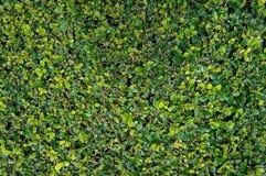 Arbusto áspero Siamese Imagens de Stock