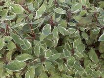 Arbusto alba di deciduos della cornina fotografia stock