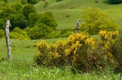 Arbusto amarelo Imagem de Stock Royalty Free