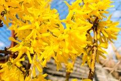 Arbusto amarelo de florescência da forsítia imagem de stock