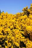 Arbusto amarelo do bracken Fotos de Stock