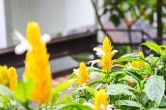 Arbusto amarelo do lutea de Pachystachys no jardim botânico ou conhecido como a planta do pirulito com folhas e fundo verdes do b fotos de stock