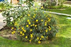 Arbusto amarelo em um jardim verde Fotografia de Stock