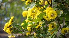 Arbusto amarillo del crisantemo metrajes