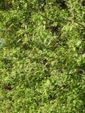 Arbusto antes de florescer, Lituânia da mola imagem de stock