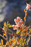 Arbusto asiático rapidamente de florescência Haloxylon imagem de stock
