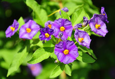 Arbusto azul da batata (rantonnetii de Lycianthes) fotos de stock