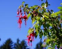 Arbusto bicolore di fioritura di fushia Fotografie Stock Libere da Diritti