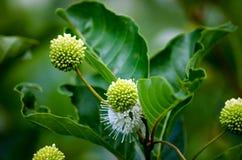 Arbusto blanco del botón Imagen de archivo