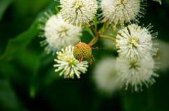 Arbusto blanco del botón Foto de archivo libre de regalías