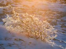 Arbusto bloqueado pela neve ensolarado Imagem de Stock