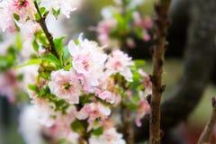 Arbusto bonito com flores cor-de-rosa Fotos de Stock Royalty Free
