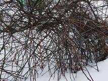 Arbusto bonito com muitos curvas e ramos de enrolamento na neve no inverno imagens de stock royalty free