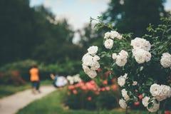 Arbusto bonito do branco da rosa da flor foto de stock