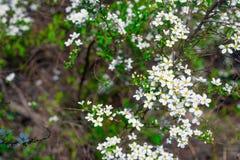 Arbusto branco de florescência da mola bonita com flores e o gree pequenos Foto de Stock Royalty Free