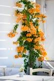 Arbusto brillante amarillo de la buganvilla cerca de la pared Foto de archivo libre de regalías