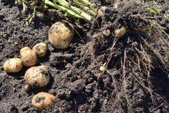 arbusto cavado de las patatas fotografía de archivo libre de regalías