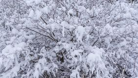 Arbusto coberto de neve após a queda de neve gelada imagens de stock