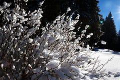 Arbusto coberto de neve na floresta do abeto vermelho do inverno após a queda de neve Imagens de Stock