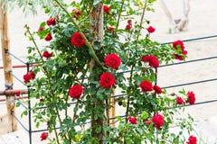arbusto color de rosa con las flores rojas en Cappadocia en primavera imágenes de archivo libres de regalías