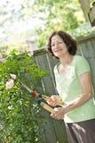 Arbusto color de rosa de la poda mayor de la mujer Imagen de archivo libre de regalías