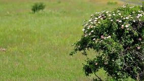 Arbusto color de rosa del perro almacen de video