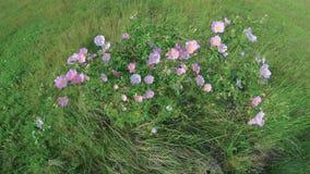Arbusto color de rosa del perro en el viento almacen de video