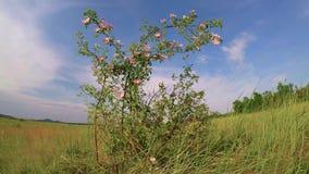 Arbusto color de rosa del perro en el viento almacen de metraje de vídeo