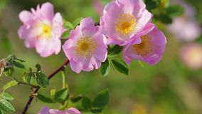 Arbusto color de rosa del perro en la brisa almacen de video