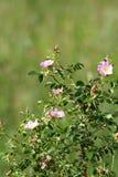 Arbusto color de rosa del rosa salvaje Foto de archivo