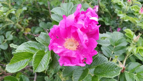 Arbusto color de rosa del rosa salvaje Imagen de archivo