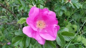 Arbusto color de rosa del rosa salvaje Fotografía de archivo libre de regalías