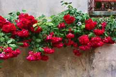 Arbusto color de rosa floreciente en la pared Imagen de archivo