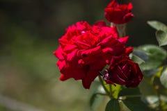 Arbusto color de rosa rojo en un parque Imagen de archivo libre de regalías