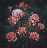 Arbusto color de rosa rosado Imagen de archivo