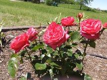 Arbusto color de rosa rosado fotografía de archivo libre de regalías