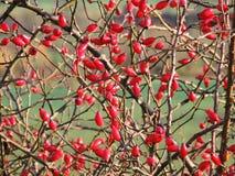 Arbusto color de rosa salvaje Fotografía de archivo