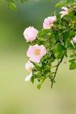 Arbusto color de rosa salvaje Fotografía de archivo libre de regalías