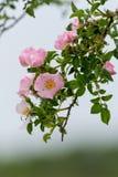 Arbusto color de rosa salvaje Fotos de archivo