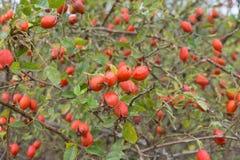 Arbusto color de rosa salvaje del otoño Fotografía de archivo libre de regalías
