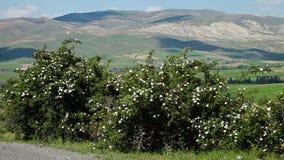 Arbusto color de rosa salvaje en Irán almacen de metraje de vídeo