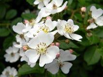 Arbusto color de rosa salvaje floreciente, pétalos blancos blandos cerca para arriba Imagen de archivo libre de regalías