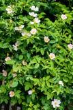 Arbusto color de rosa salvaje hermoso Fotos de archivo