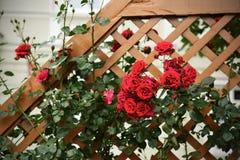 Arbusto color de rosa salvaje rojo Fotografía de archivo libre de regalías