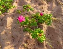 Arbusto color de rosa salvaje rosado en la arena Fotografía de archivo