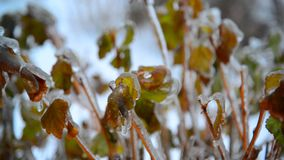 Arbusto com as folhas cobertas com o gelo após a chuva no inverno vídeos de arquivo