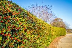 Arbusto com bagas vermelhas Imagens de Stock