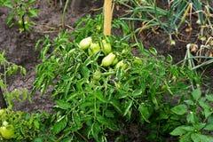 Arbusto com tomates verdes Fotografia de Stock Royalty Free