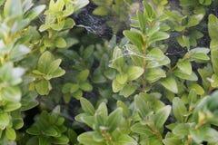 Arbusto com Web de aranha Imagem de Stock